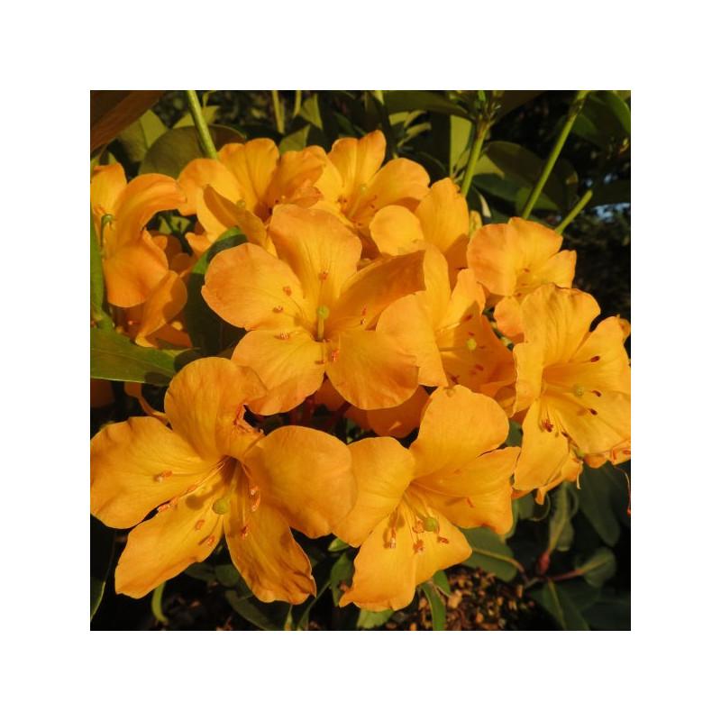 Rhododendron vireya Thai gold