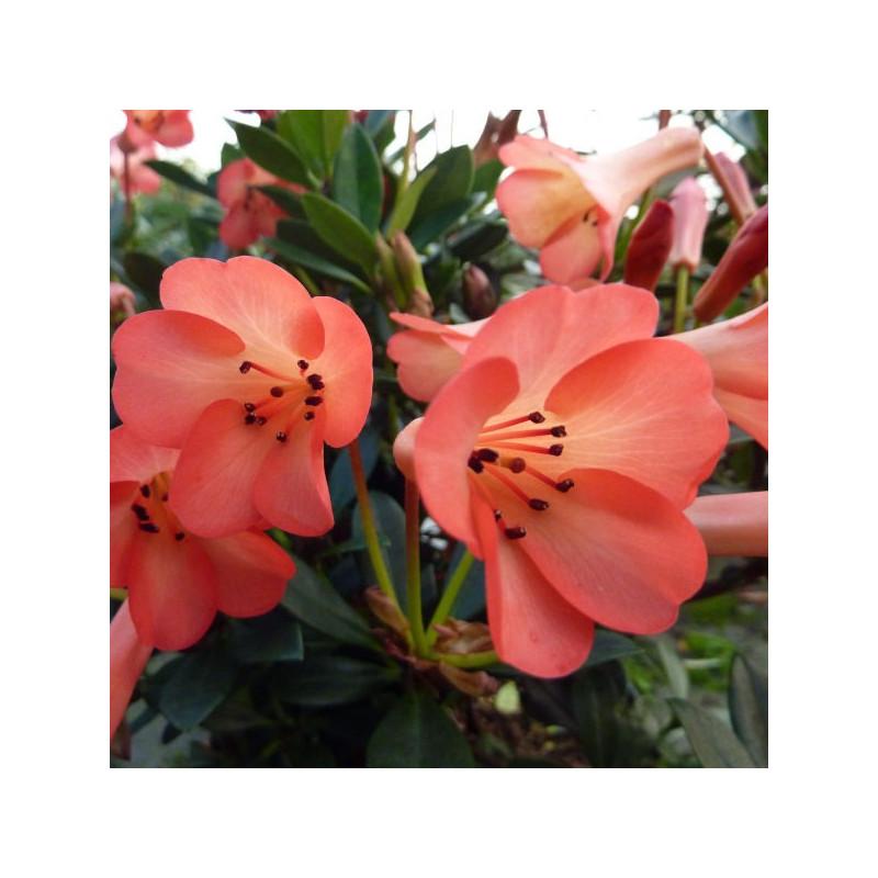 Rhododendron vireya Saxon blush