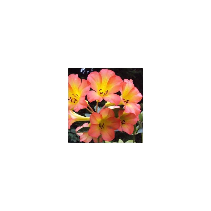 Rhododendron vireya hot tropic