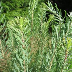 Leucadendron galpinii Carlin