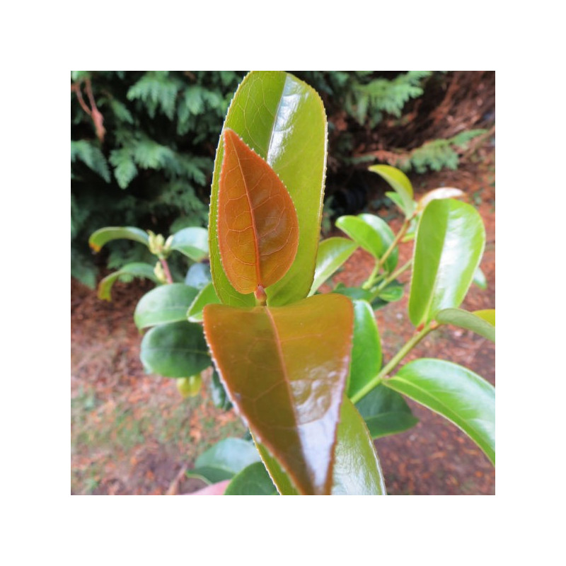 Camellia crapnelliana