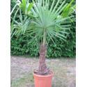 Trachycarpus fortunei stipe 30 à 40 cm