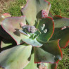 Echeveria cameo