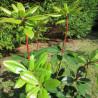 Rhododendron vireya Vladimir Bukovsky