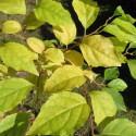 Styrax japonica fargesii