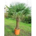 Trachycarpus fortunei stipe 90 cm