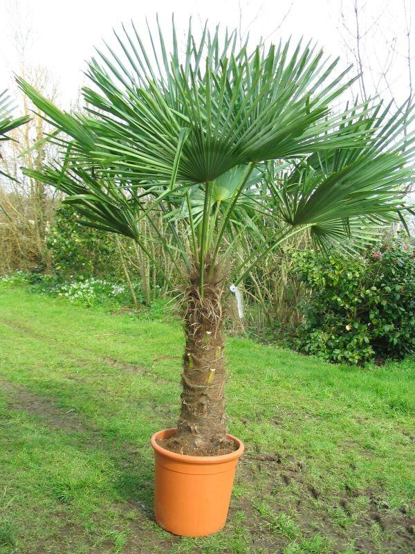palmier nain exterieur hystrix marvelous bac a plantes exterieur chamaerops humilis palmier. Black Bedroom Furniture Sets. Home Design Ideas