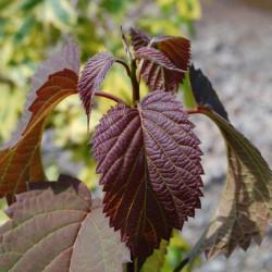 Davidia crimson spring