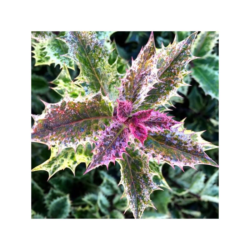 Ilex aquifolium ingramii