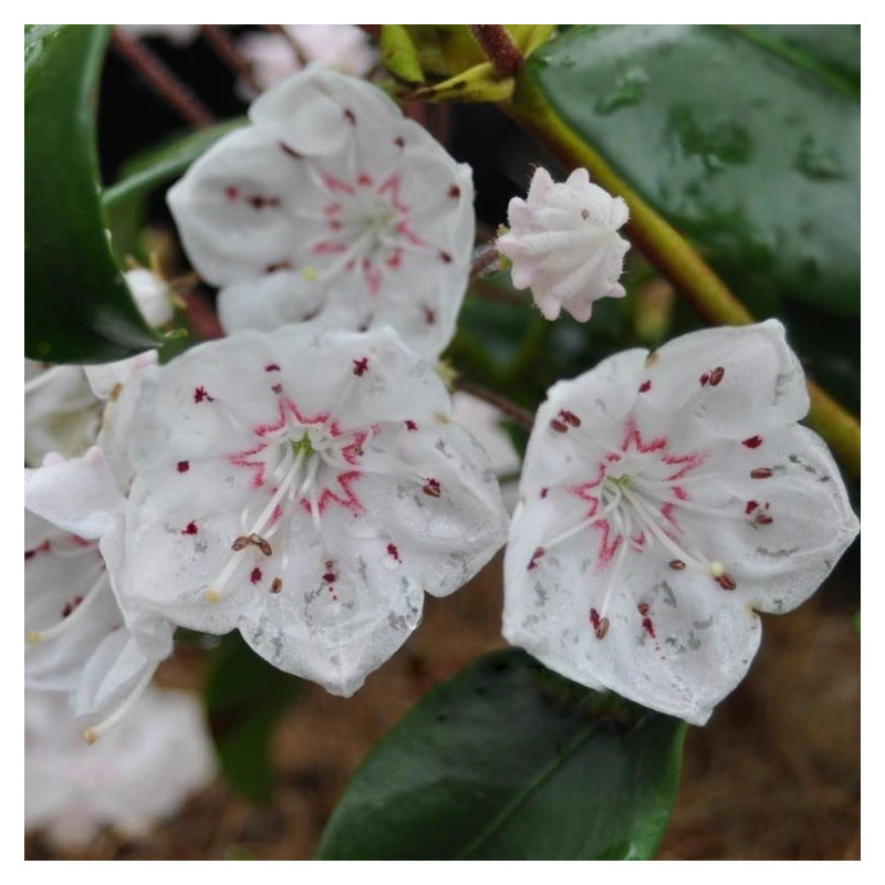 Kalmia latifolia zebulon