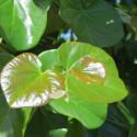 Cercis canadensis Oklahoma