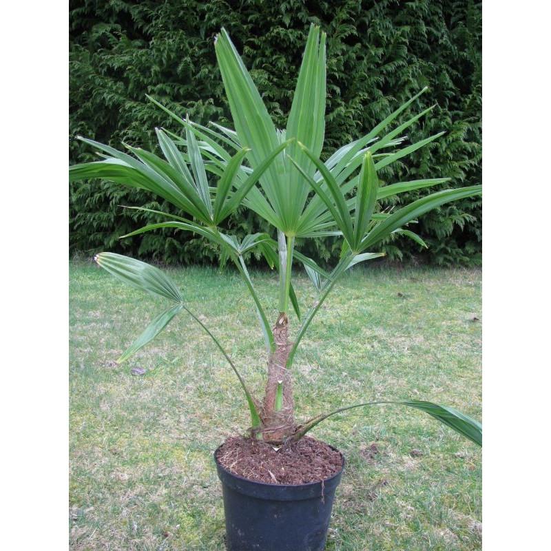 Trachycarpus fortunei 4 l