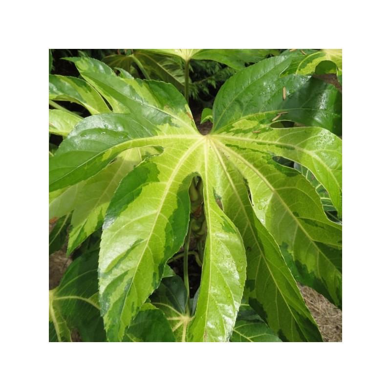 Fatsia japonica Annelies