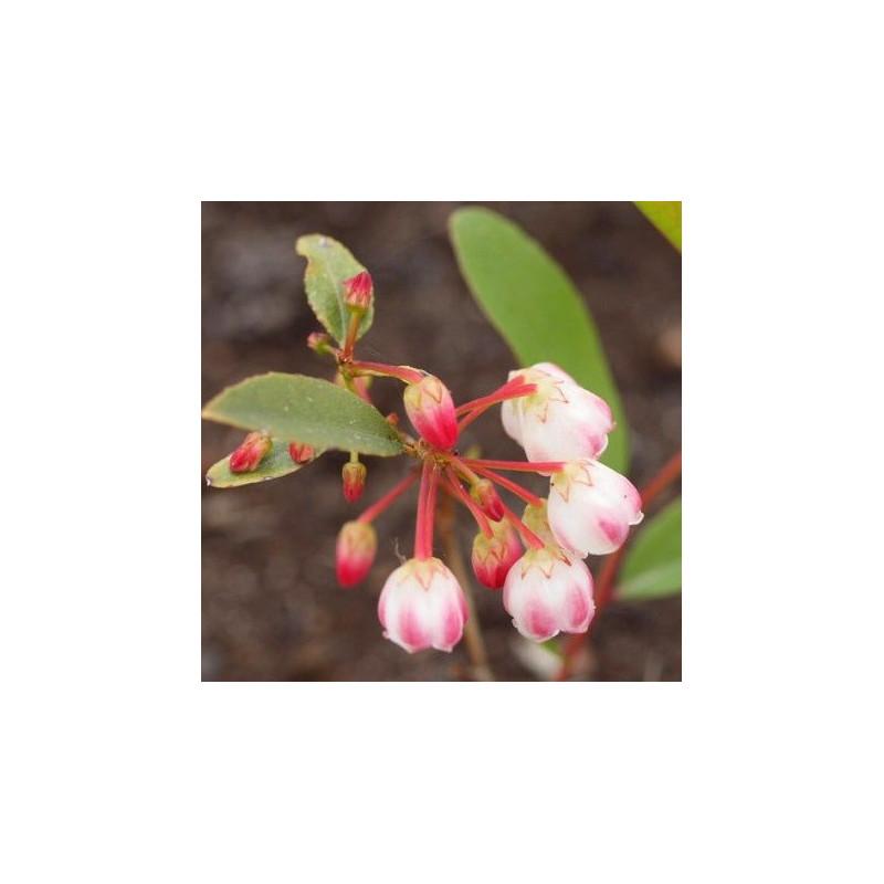 Zenobia raspberry ripple