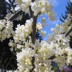 Cercis reniformis Texas white
