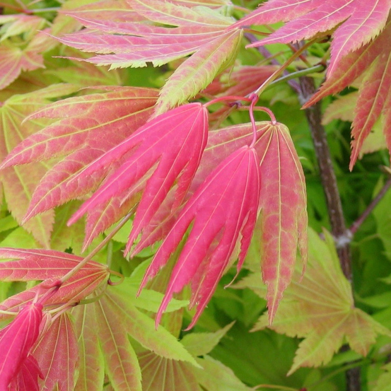 Acer shirasawanum moonrise®