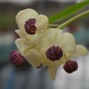 Akebia quinata cream form
