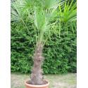 Trachycarpus fortunei stipe 70 cm