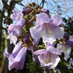 Paulownia tomentosa 'purple splendour'