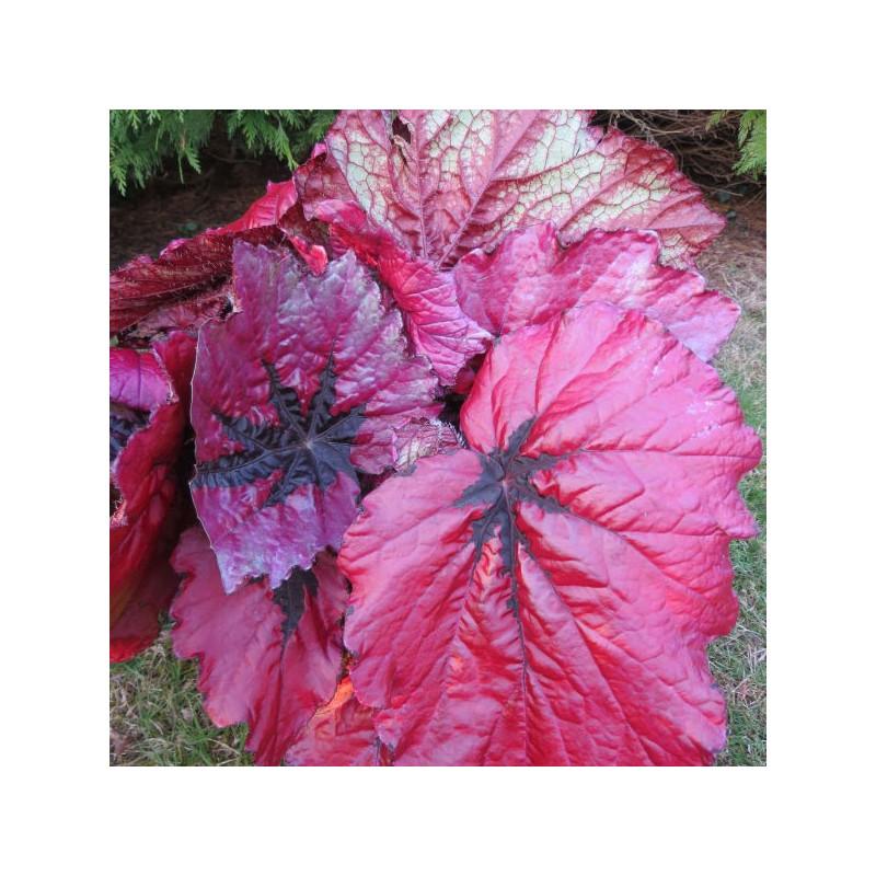 Begonia T REX™ Ruby Slippers