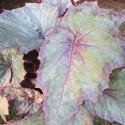 Begonia shade angel™ aurora