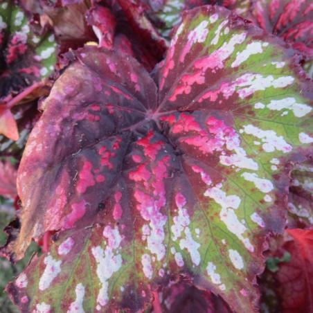 Begonia T REX™ painter's palette