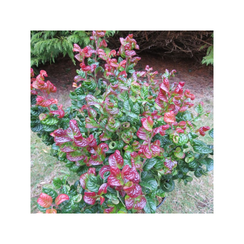 Leucothoe curly red®