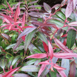 Leucothoe burning love