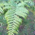 Sadleria cyatheoides