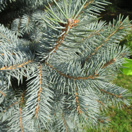 Picea pungens baby blue