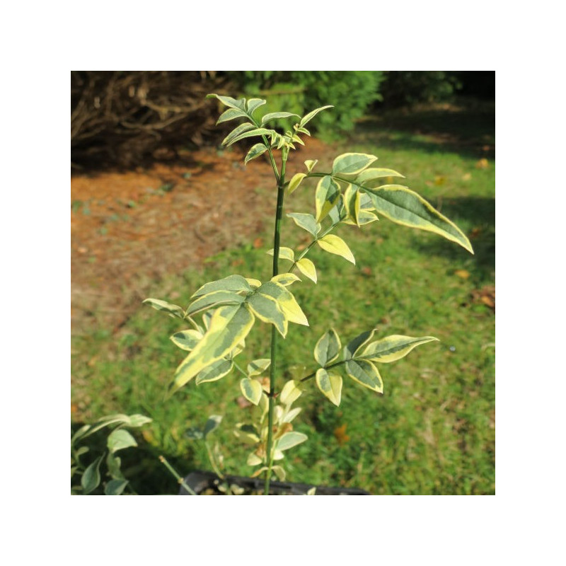 Jasminum officinalis argenteovariegatum