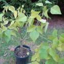 Erythrina falcata