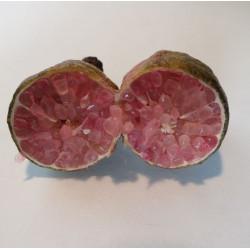 Citrus australasica, finger-lime