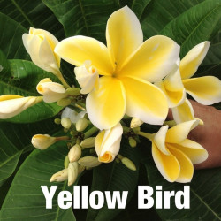 Plumeria yellow bird