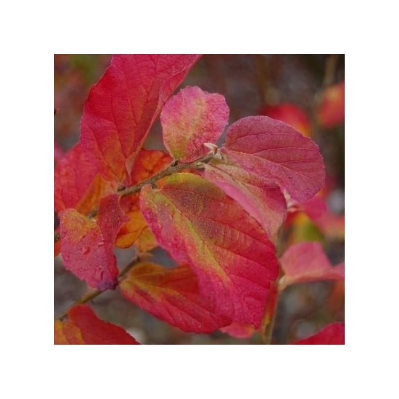 Parrotia persica Burgundy