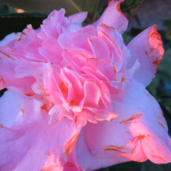Camellia Paddy's perfumed