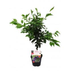 Dwarf plum tree plum me®