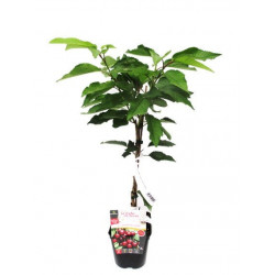 Dwarf cherry tree cherry me®