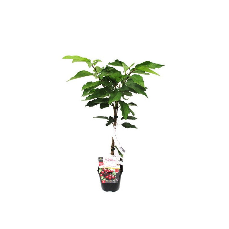 Cerisier nain fruit me cherry me