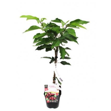 Dwarf cherry tree cherry me®