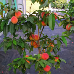 Dwarf peach peach me yellow®