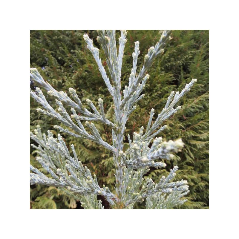 Sequoiadendron giganteum glaucum