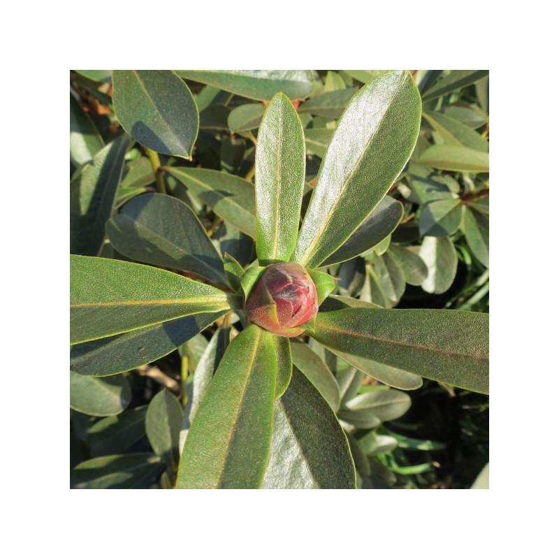 Rhododendron crassum