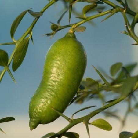 Citrus australasica Faustrime
