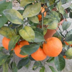 Citrus unshiu wase