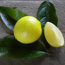 Citrus latifolia Tahiti