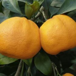 Citrus unshiu miyagawa
