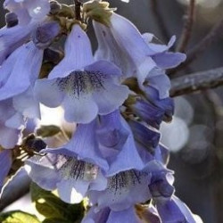 Paulownia fortunei fast blue®