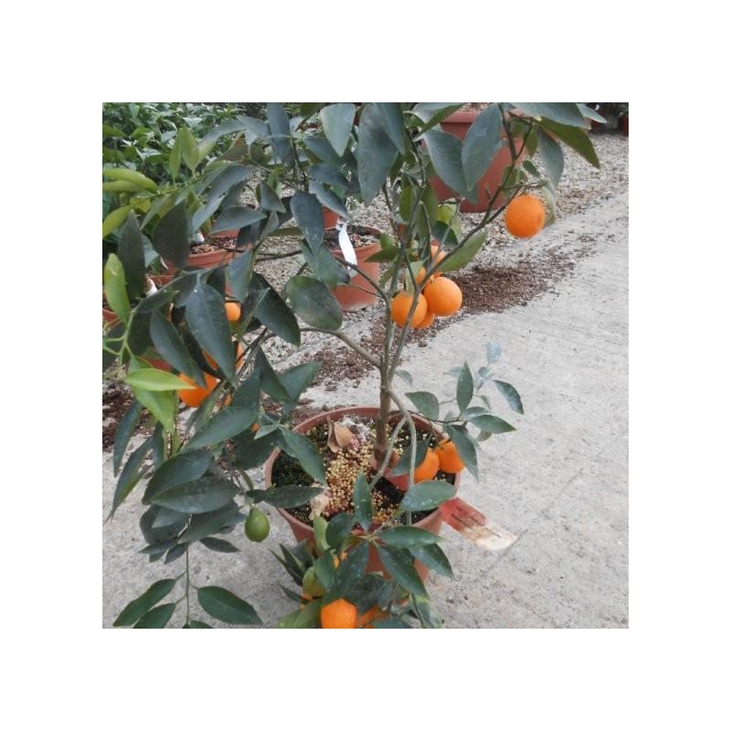 Citrus unshiu x F. margarita