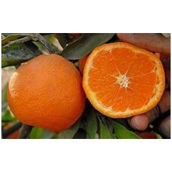 Citrus unshiu miyagawa (nucellar)